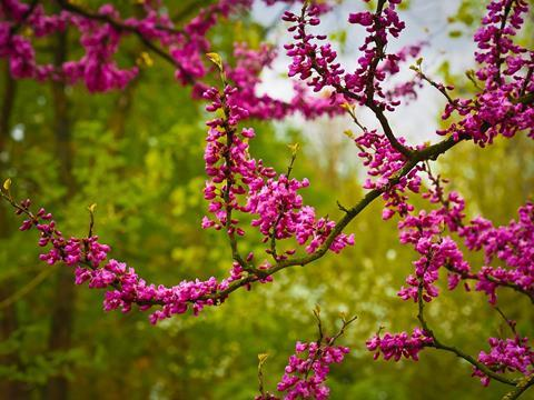 Chinese judas tree 1367913 960 720